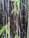 Black bamboo stalks and leaves, HortPark-the Gardening Hub, horticulture park, Singapore