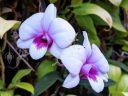 Dendrobium orchid flowers, HortPark-the Gardening Hub, horticulture park, Singapore