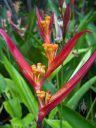 Heliconia flowers, HortPark-the Gardening Hub, horticulture park, Singapore