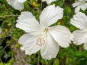 White hibiscus flower, HortPark-the Gardening Hub, horticulture park, Singapore
