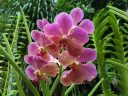 Vanda flowers, orchid flowers and leaves, HortPark-the Gardening Hub, horticulture park, Singapore
