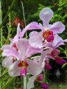 Vanda orchid flowers, HortPark-the Gardening Hub, horticulture park, Singapore