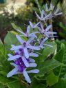 Blue flowers, HortPark-the Gardening Hub, horticulture park, Singapore
