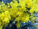 Bright yellow flowers, yellow puffball flowers, Princess of Wales Conservatory, Royal Botanic Gardens Kew, London, UK