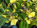 Brassidium Yoshiichi Nakagawa, orchid hybrid flowers, Glasshouse, RHS Garden Wisley, Woking, Surrey, UK