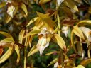 Coelogyne orchid flowers, Glasshouse, RHS Garden Wisley, Woking, Surrey, UK
