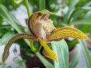 Cymbidium tracyanum, orchid species flower, University of Oxford Botanic Garden, Oxford, Oxfordshire, England, UK