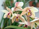 Cymbidium orchid hybrid flowers, Temperate House, large glasshouse, Kew Gardens, RBG Kew, London, UK