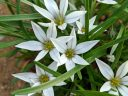 Ipheion sessile, AKA Tristagma sessile, white flowers and thin leaves, Alpine House, RHS Garden Wisley, Woking, Surrey, UK