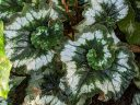 Spiral Begonia leaves with spiral variegation, green and silver white leaves, Glasshouse, RHS Garden Wisley, Woking, Surrey, UK