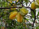 Averrhoa carambola, Star Fruit, Carambola, fruiting tree species, 3 star fruit hanging on branch, University of Oxford Botanic Garden, Oxford, Oxfordshire, England, UK