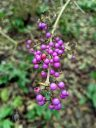 Callicarpa bodinieri var. giraldii, Bodinier's beautyberry, bright purple berries, University of Oxford Botanic Garden, Oxford, Oxfordshire, England, UK
