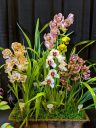 Cymbidium hybrid flowers and leaves, orchid flowers, Pacific Orchid Expo 2020, Hall of Flowers, Golden Gate Park, San Francisco, California