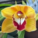 Cymbidium hybrid orchid flower, gold white and deep red flower, grown outdoors in Pacifica, California