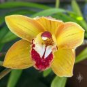 Cymbidium hybrid orchid flower, gold white and deep red flower, flower with water drops, grown outdoors in Pacifica, California