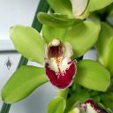 Cymbidium hybrid orchid flower, green white and deep red flower, grown outdoors in Pacifica, California