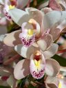 Cymbidium hybrid orchid flowers, pink white yellow and reddish-purple flower, flowers with water drops, grown outdoors in Pacifica, California