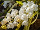 Cymbidium hybrid orchid flowers, white flowers and buds with water drops, many flowers on a spike, grown outdoors in Pacifica, California