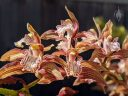 Cymbidium tracyanum, orchid species flowers, purplish-red white and yellow flowers with spots and stripes, grown outdoors in Pacifica, California