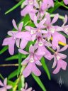 Epidendrum centropetalum, AKA Oerstedella centradenia, orchid species flowers, Pacific Orchid Expo 2020, Hall of Flowers, Golden Gate Park, San Francisco, California