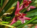 Maxillaria tenuifolia, Coconut Orchid, orchid species flower, fragrant flower, grown indoors in Pacifica, California