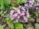 Ajuga, Bugleweed, pink flowers, grown outdoors in Pacifica, California