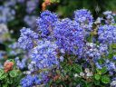 Ceanothus, California Lilac, blue flowers, grown outdoors in Pacifica, California