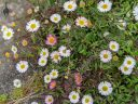 Erigeron daisy, Fleabane, grown outdoors in Pacifica, California