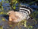 Red-shouldered Hawk bathing in pond, Buteo lineatus, Strybing Arboretum, Golden Gate Park, San Francisco, California