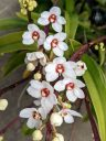 Sarcochilus hartmanii, Large Boulder Orchid, Cliff Orchid, orchid species flowers, grown outdoors in Pacifica, California