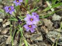 Sisyrinchium 'Quaint and Queer', Blue Eyed Grass, grown outdoors in Pacifica, California