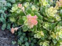 Variegated succulent with flower buds, grown outdoors in Pacifica, California