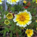 Tidy Tips, Layia platyglossa, yellow and white flowers, grown outdoors in Pacifica, California