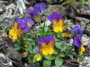 Viola plant with flowers, pansy, grown outdoors in Pacifica, California