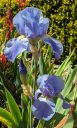 Blue iris flowers and bud, growing outdoors in Pacifica, California
