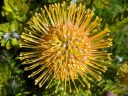 Leucospermum flower, Pincushion flower, growing outdoors in Pacifica, California