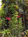 Renanthera orchids with red flowers, vertical gardens, lush green tropical growth, Supertree, artificial tree, City in a Garden, Gardens by the Bay Nature Park, Singapore