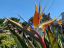 Strelitzia reginae, Bird of Paradise flower, exotic tropical flower, growing outdoors in Pacifica, California