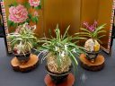 Display of 3 Samurai Orchids in front of gold floral Japanese screen, Vanda falcata, Neofinetia falcata, Furan, Fukiran, orchid species, mini fragrant Japanese orchid, Orchids in the Park 2018, Hall of Flowers, Golden Gate Park, San Francisco, California