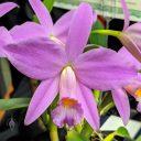 Cattleya jongheana x praetans, orchid hybrid flower, Pacific Orchid Expo 2020, Golden Gate Park, San Francisco, California