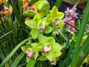 Cymbidium Virginia Reyes Carreon 'Woodside', orchid hybrid flowers and leaves, green flowers, Pacific Orchid Expo 2020, Golden Gate Park, San Francisco, California