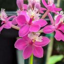 Epidendrum orchid hybrid flowers, bright pink flowers, Pacific Orchid Expo 2020, Golden Gate Park, San Francisco, California
