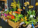 Orchid display, Pacific Orchid Expo 2020, Golden Gate Park, San Francisco, California