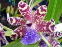 Pabstia jugosa x Zygopetalum BG White 4N, orchid hybrid flower, Zygo, Pacific Orchid Expo 2012, San Francisco, California