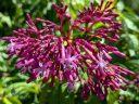 Possibly Fuchsia paniculata, Tree Fuchsia, fuchsia species flowers, growing outdoors in Pacifica, California