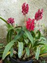 Arpophyllum giganteum subspecies alpinum, orchid species flowers and leaves, miniature orchid with clusters of magenta flowers and buds, plant grown outdoors in Pacifica, California