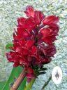Arpophyllum giganteum subspecies alpinum, orchid species flowers, miniature orchid, cluster of magenta flowers, grown outdoors in Pacifica, California