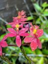 Epidendrum orchid flowers, possibly Epidendrium x obrienianum, Crucifix Orchid, reed-stem Epidendrum, red and yellow flowers, grown outdoors in Pacifica, California