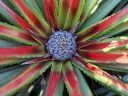 Bromelia genus bromeliad, red and green leaves with blue bracts around small white flowers, grown outdoors close to the ocean in Pacifica, California