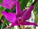 Laelia gouldiana, orchid species flower, Mexican native orchid, purple flower, grown outdoors in Pacifica, California